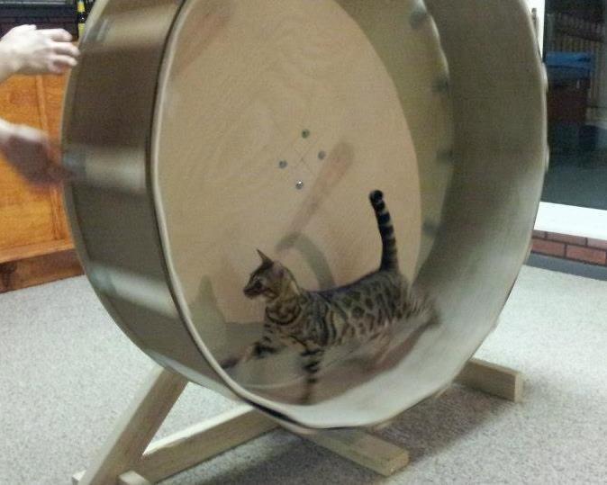 Беговой тренажер для кошек