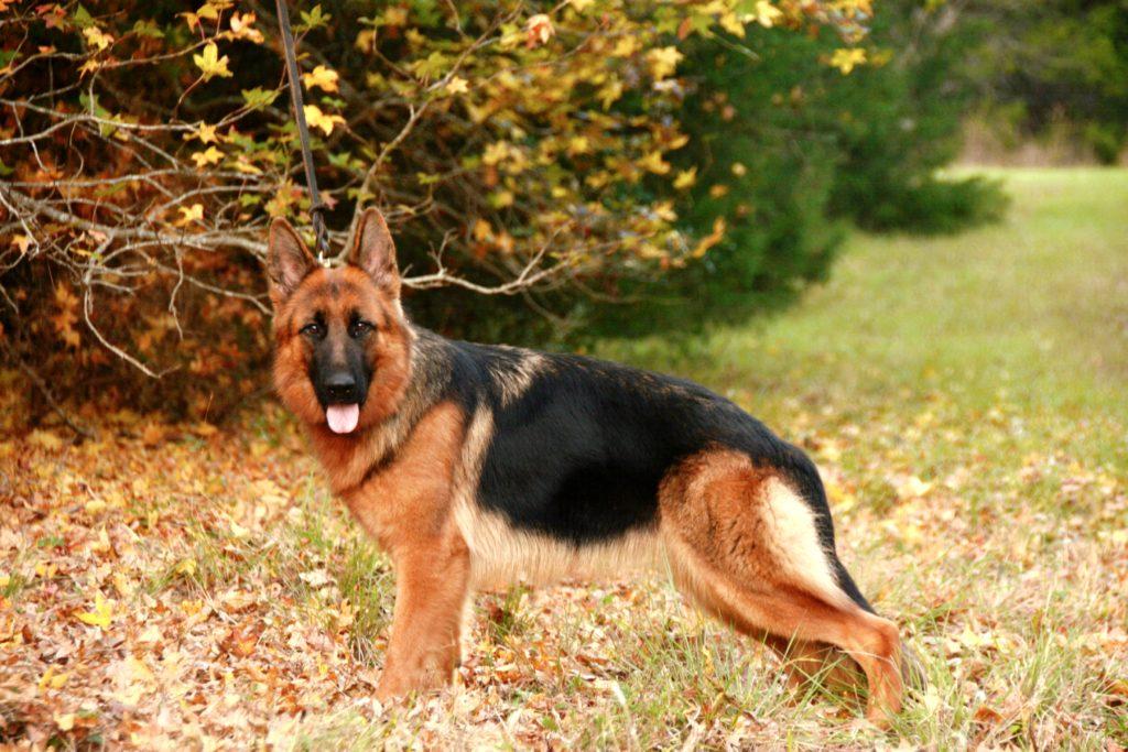 Краткая характеристика немецкой овчарки, описание породы и отзывы владельцев