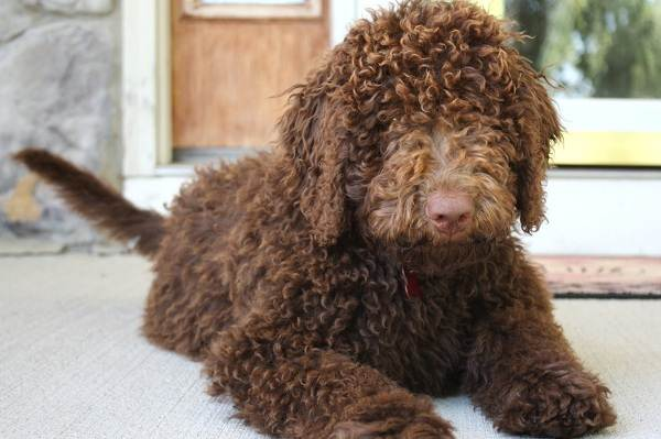 Лабрадудль порода собак: описание, особенности, виды, уход и цена породы лабрадудль
