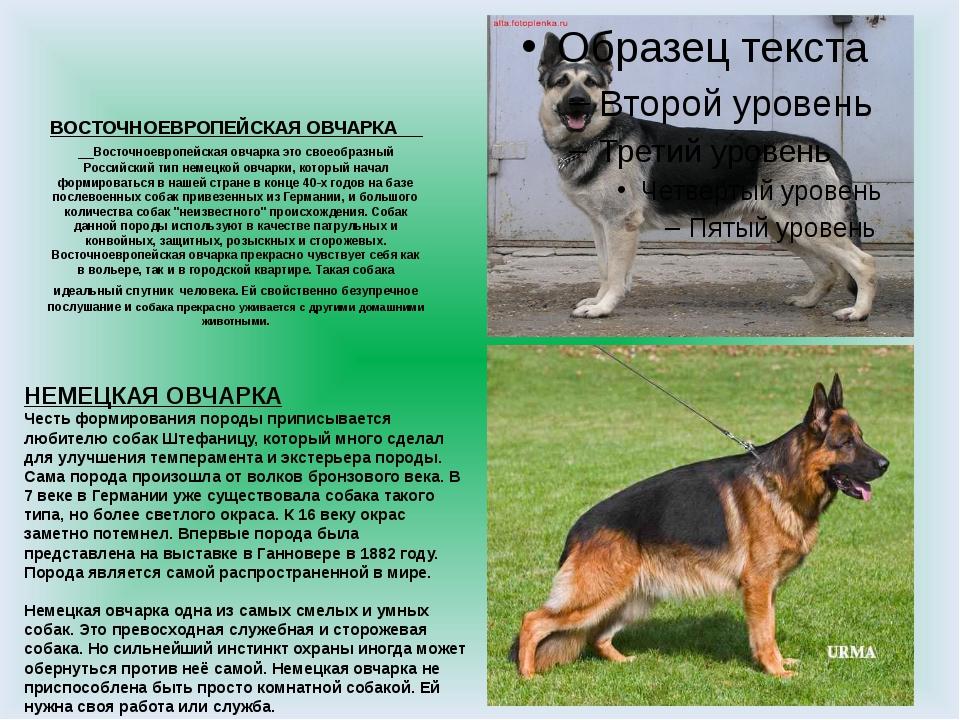ᐉ чем отличаются немецкая и восточно европейская овчарка? - zoomanji.ru