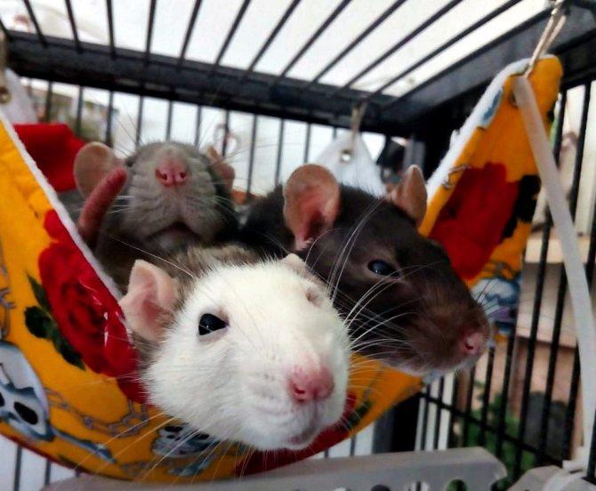 Все об уходе и содержании декоративных домашних крыс