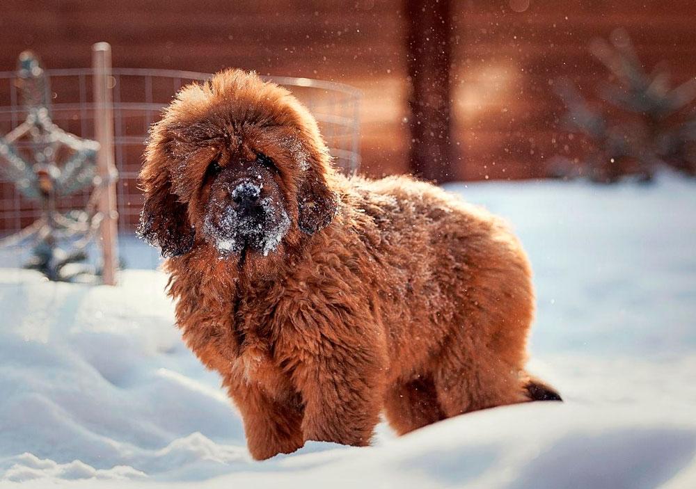 Тибетский мастиф: описание породы, характер собаки и щенка, фото, цена