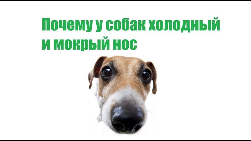 Сухой нос у собаки: причины и действия