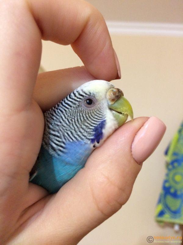 Как приручить волнистого попугая к рукам: можно ли это сделать быстро, разница в приручении к себе между мальчиками и девочками