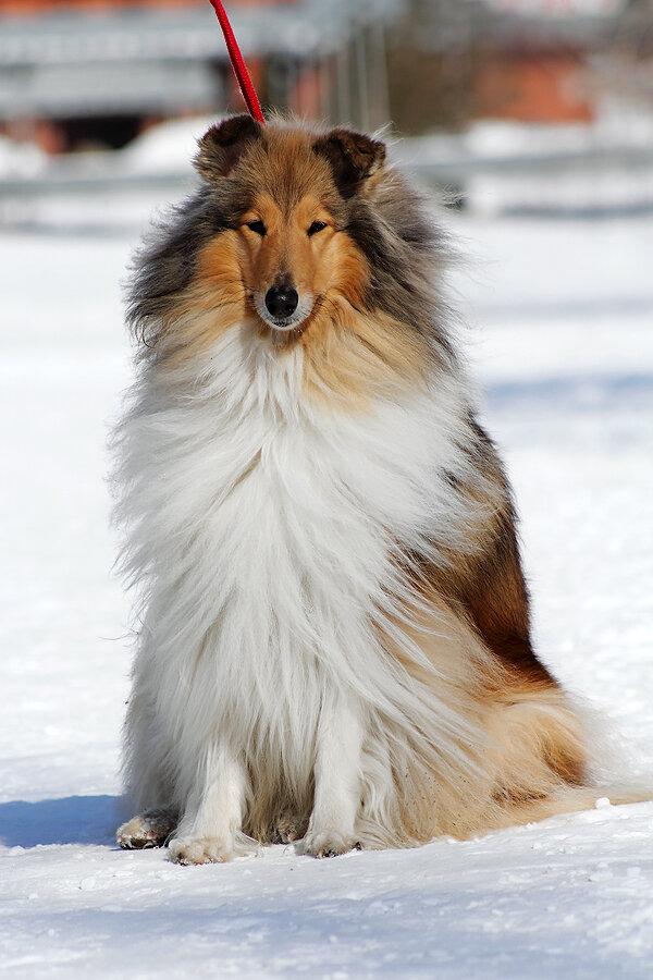 Собака колли: характер, описание породы, особенности содержания