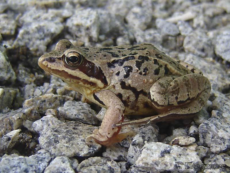 Морская жаба. морская лягушка. образ жизни тростниковой лягушки