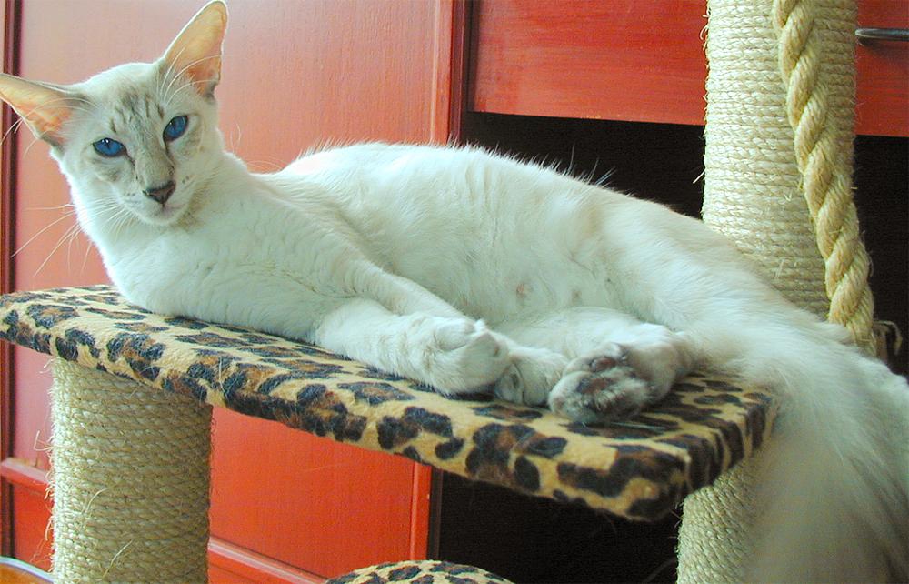Яванская кошка: восточная гурия