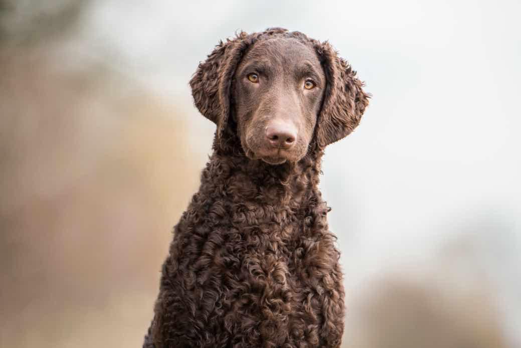 Курчавошерстный ретривер: описание породы собак с фото и видео