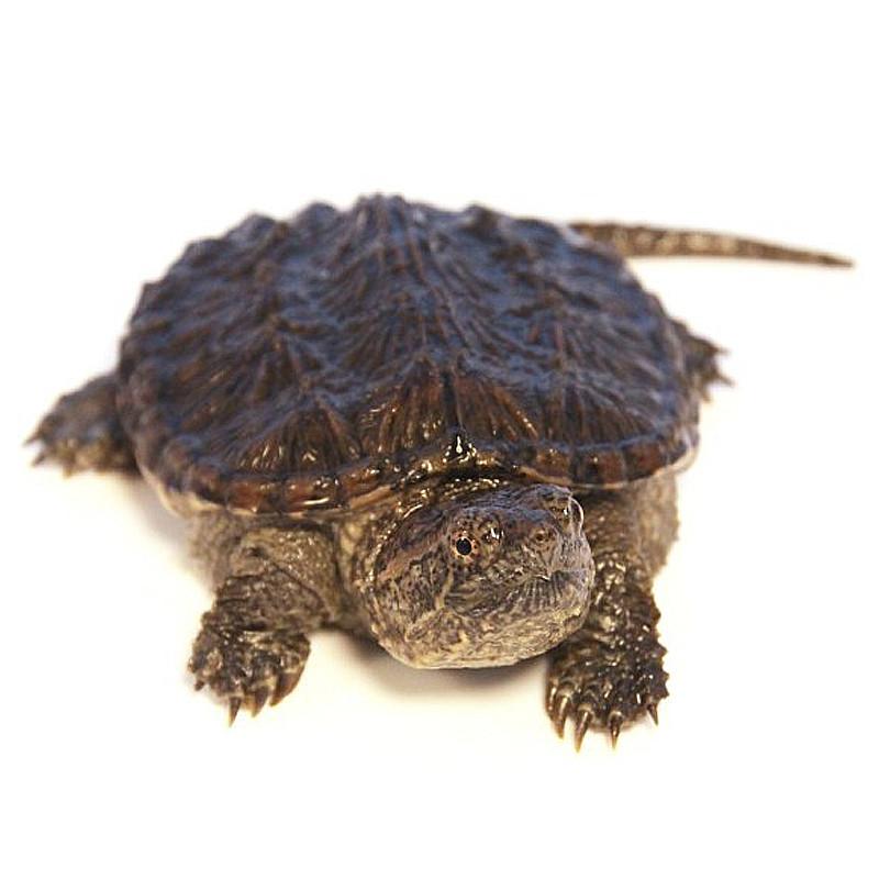 Каймановая черепаха, или кусающаяся черепаха