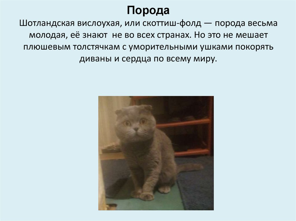 Британская вислоухая кошка и вислоухие британские котята, британцы