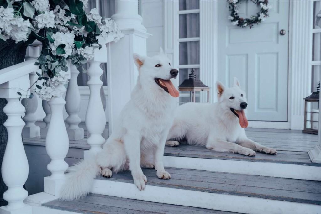Яркая, самобытная, позитивная – белая швейцарская овчарка