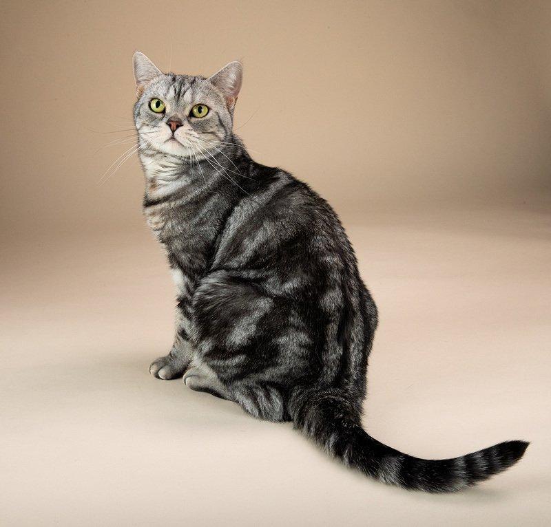 ᐉ американская жесткошерстная кошка - описание пород котов - ➡ motildazoo.ru