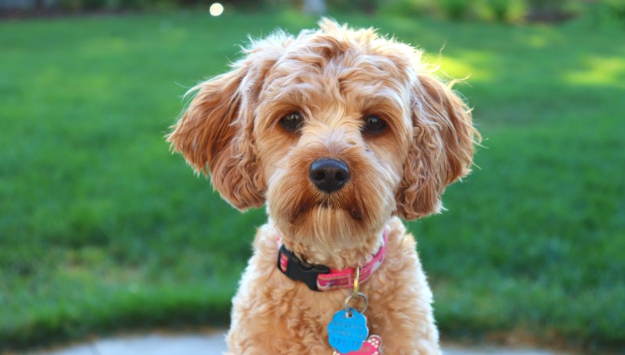 Самые глупые породы собак в мире | фото, топ-10