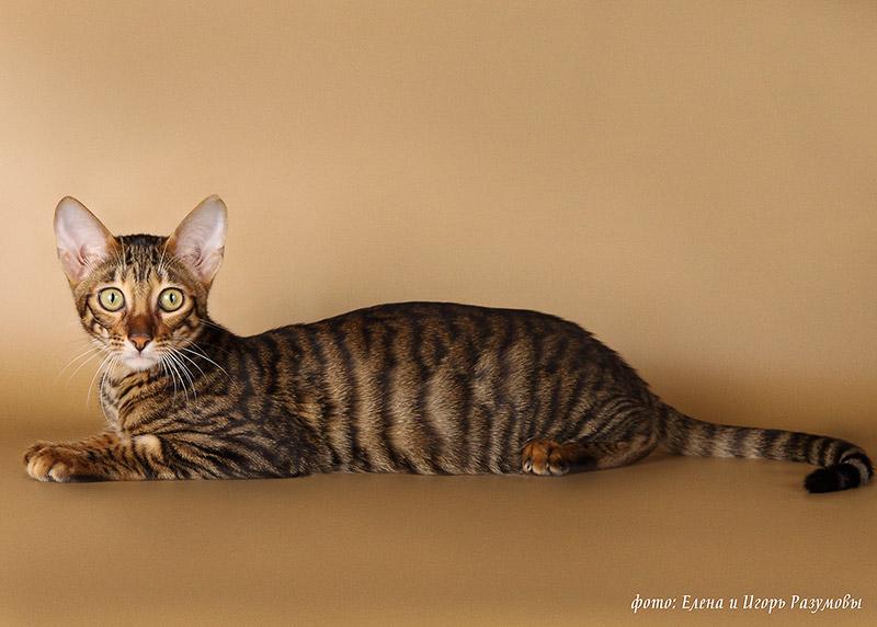 Кошки породы тойгер: описание породы, как ухаживать, отзывы владельцев и цена кошек