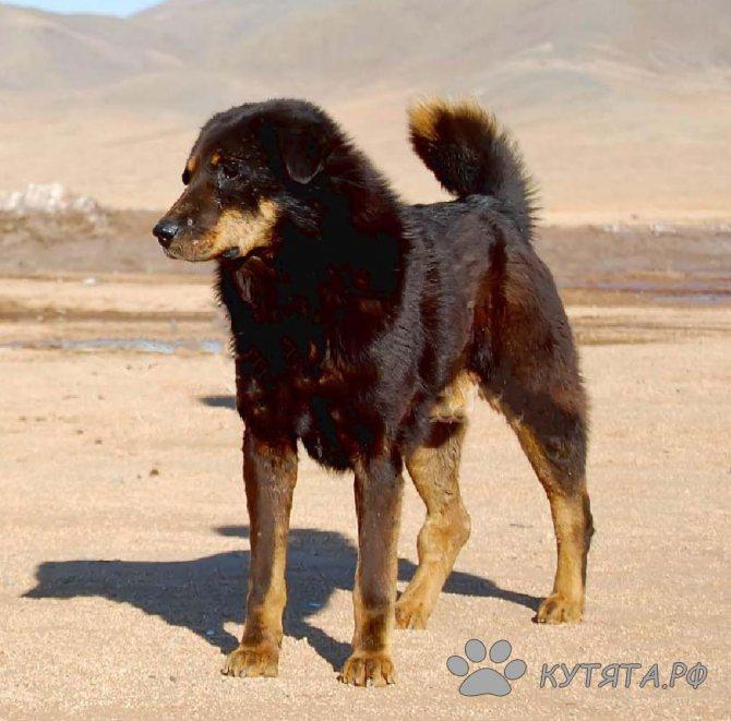 Характеристика монгольской овчарки породы банхар: особенности породы