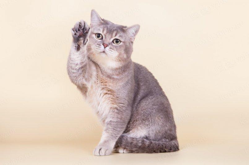 Короткошерстные породы кошек: топ лучших короткошерстных пород