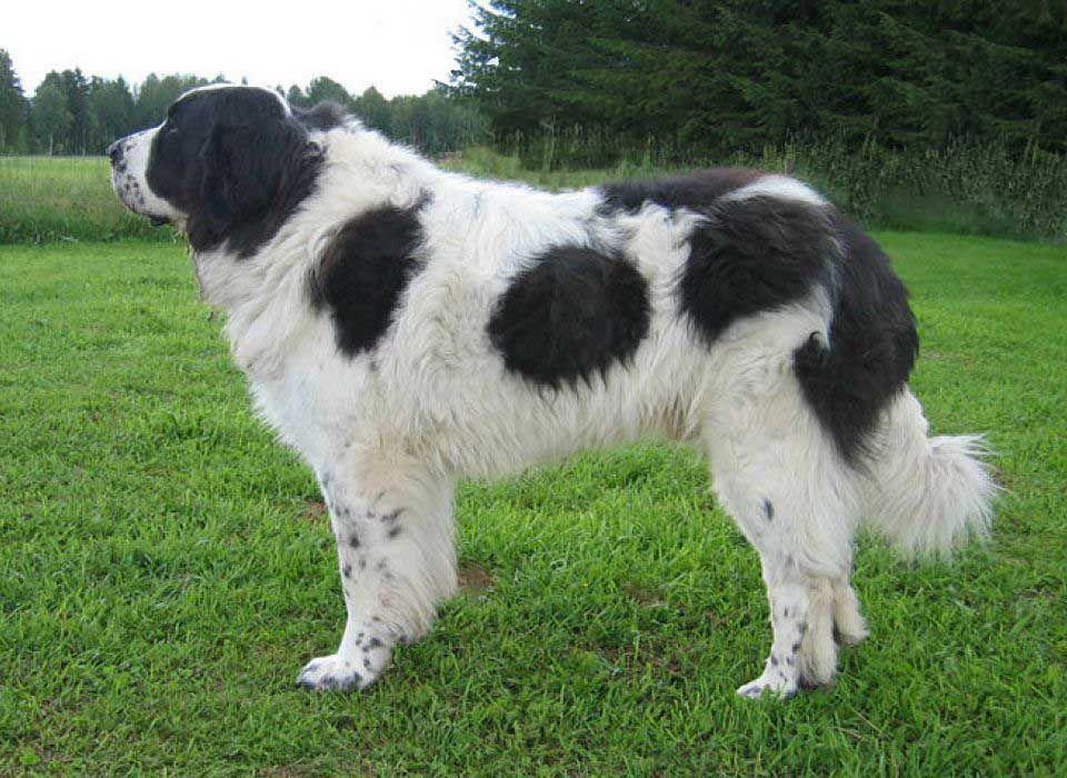 Характеристика собак породы пиренейский мастиф с отзывами и фото