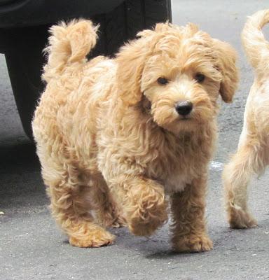 Гипоаллергенные собаки — список пород для аллергиков и астматиков