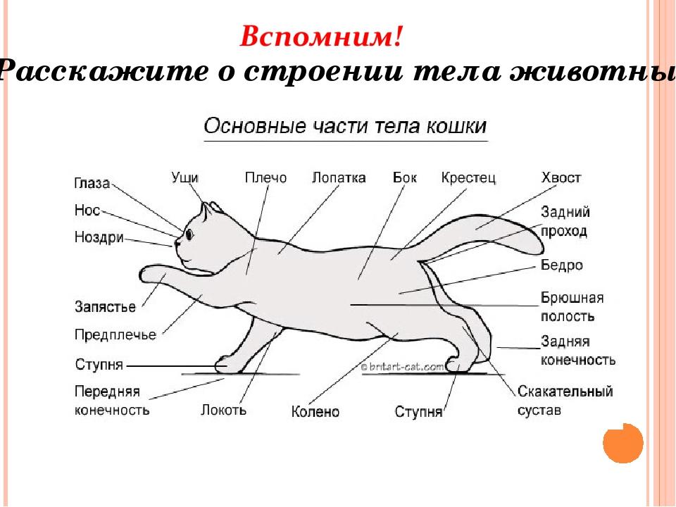 Зачем кошке хвост, из чего он состоит и какие его функции