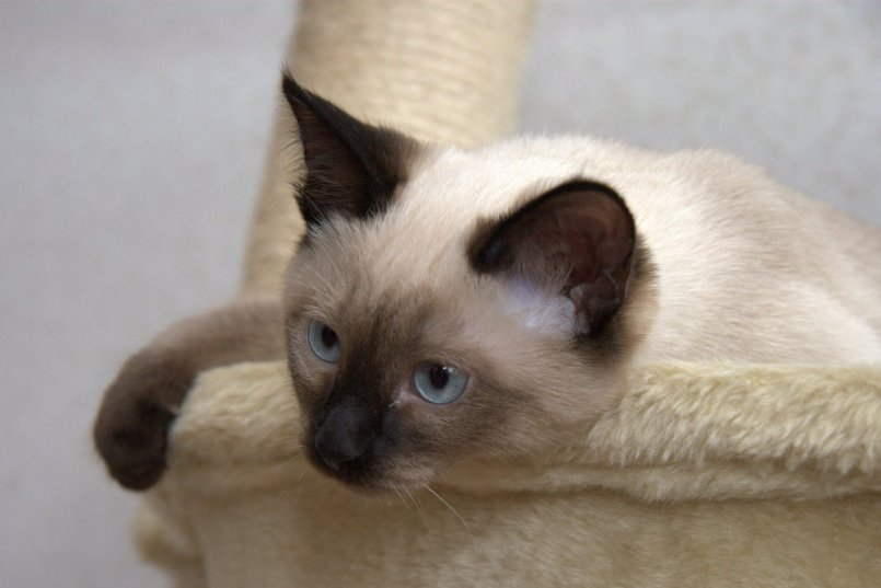 Тайская кошка: описание внешности и характера породы, уход за питомцем и его содержание, выбор котёнка, отзывы владельцев, фото кота