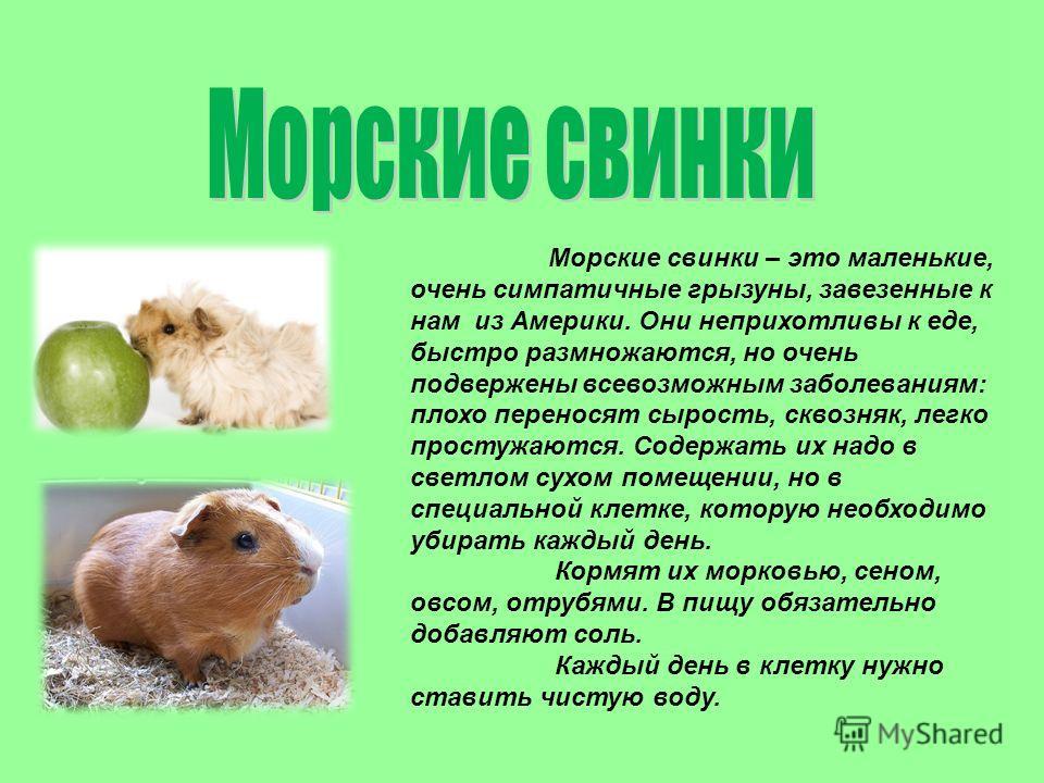 Интересные факты про морскую свинку