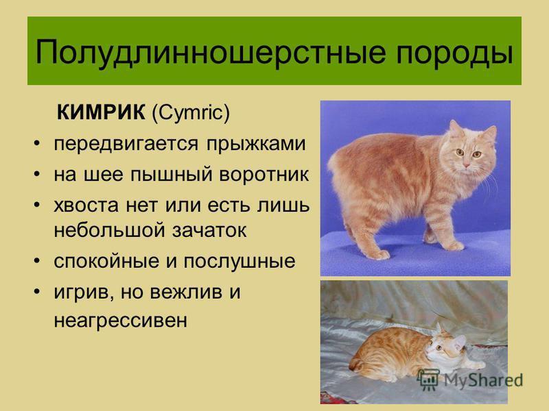 Мэнкс: история породы кошек, фото, цена, уход
