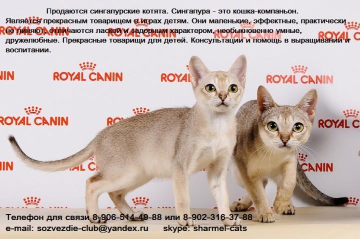 Сомалийская кошка: топ-150 фото, история появления, интересные факты, цена котенка, здоровье, стандарты