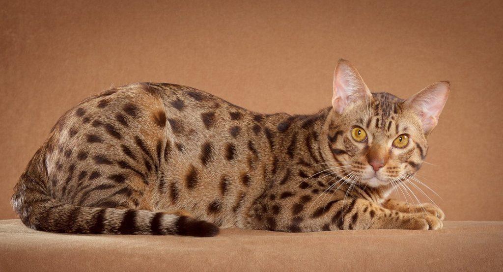 Оцикет: описание породы, фото кошки, характер, поведение, содержание, плюсы и минусы
