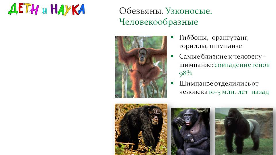 Обезьяна — где какие виды живут, срок жизни, питание, виды + 79 фото