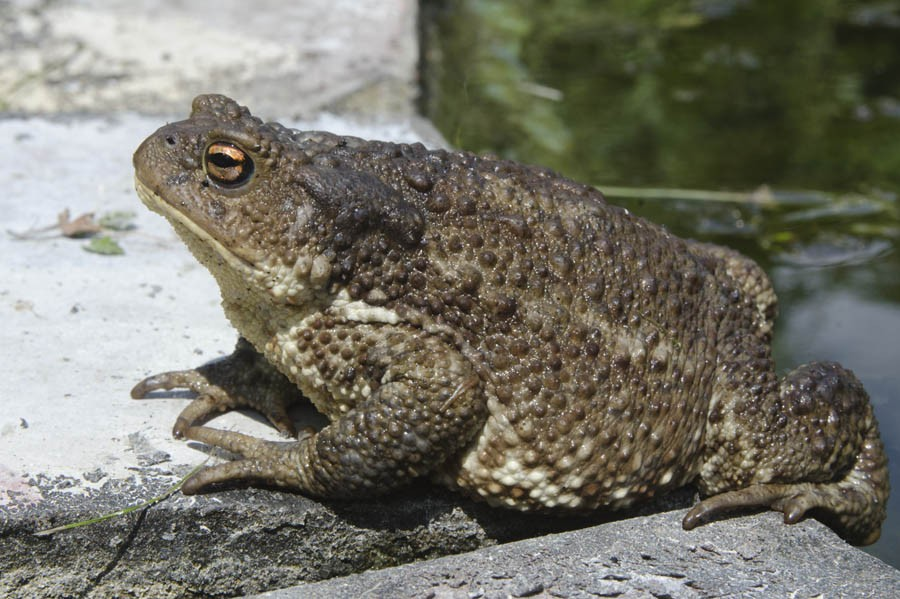 Земляная жаба ???? фото, описание, ареал, питание, враги ✔