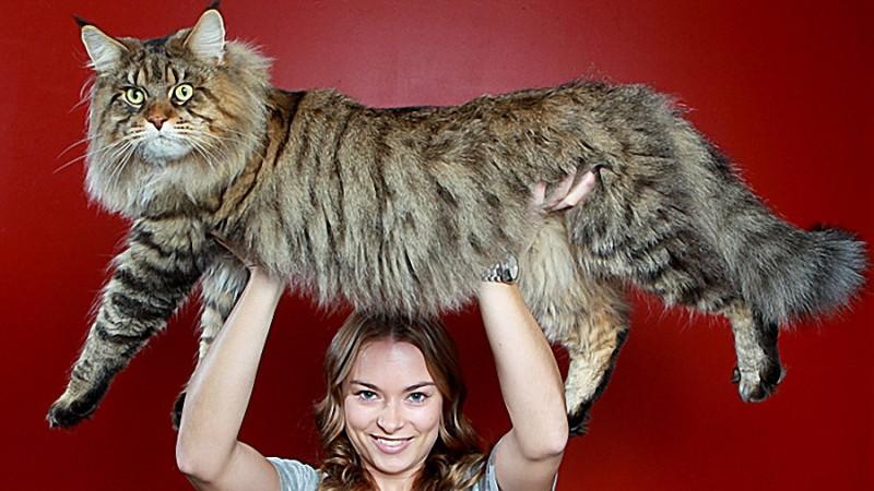 Самый большой кот в мире: характеристики, фото животных