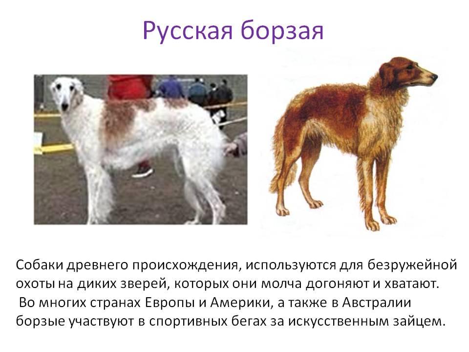 Русская псовая борзая: фото и видео породы собак, окрасы, характер и характеристики породы