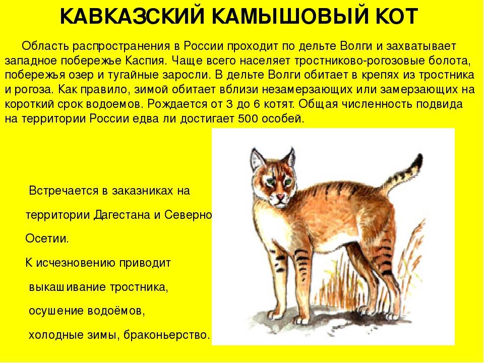 Камышовый кот (хаус)