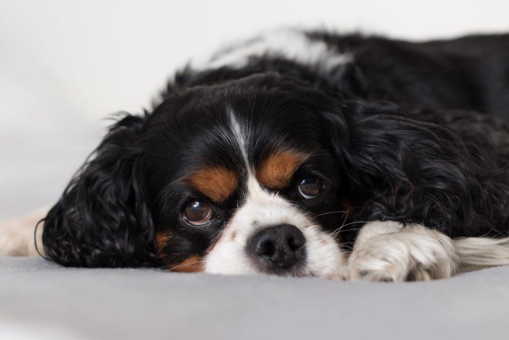 Кавалер-кинг-чарльз-спаниель: все о собаке, фото, описание породы, характер, цена