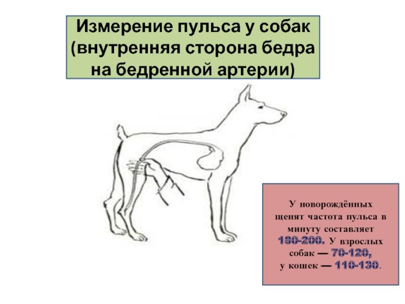 Измерение температуры тела у животных