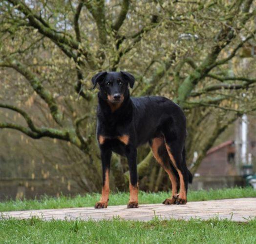 Французская овчарка босерон: фото и описание породы собак