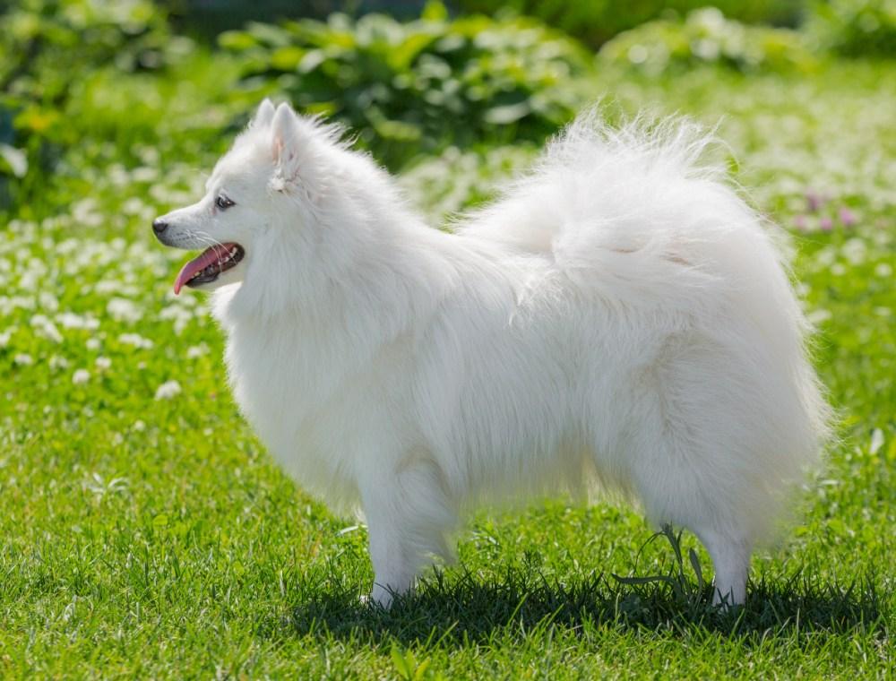 Большой шпиц (28 фото): характеристика гроссшпица. почему эта немецкая порода собак так называется?