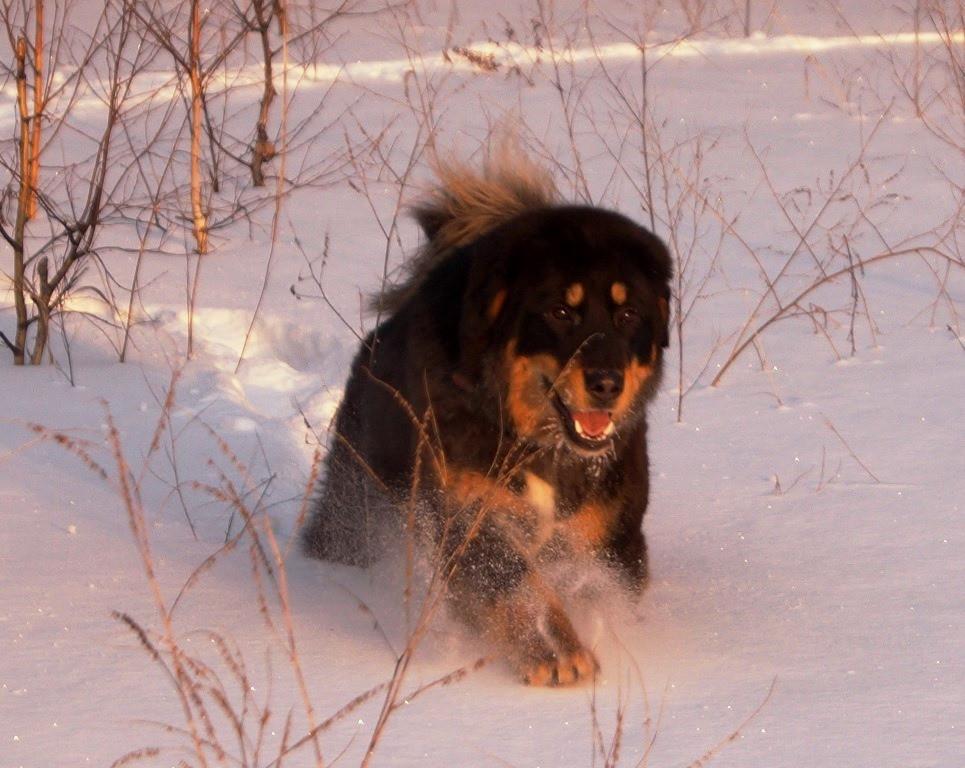 Порода собак монгольская овчарка банхар
