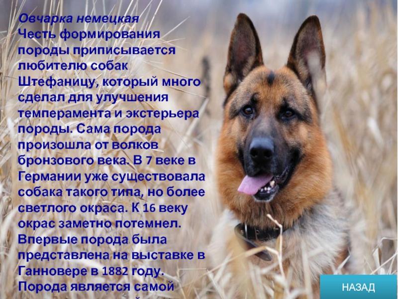 Самые преданные собаки - топ 25 пород самых верных собак с фото.