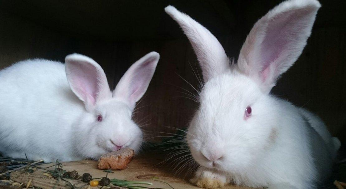 Новозеландские кролики (белые и красные): описание и характеристика породы, отзывы
