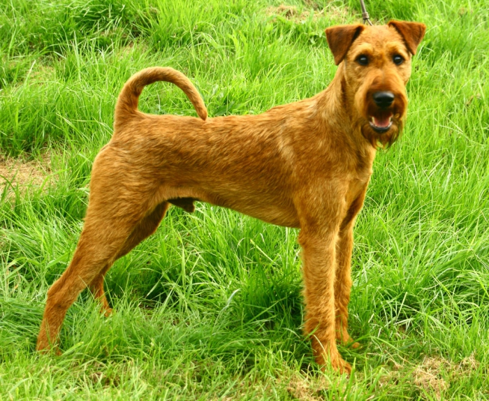Йоркширский терьер собака. описание, особенности, виды, уход и цена породы   живность.ру