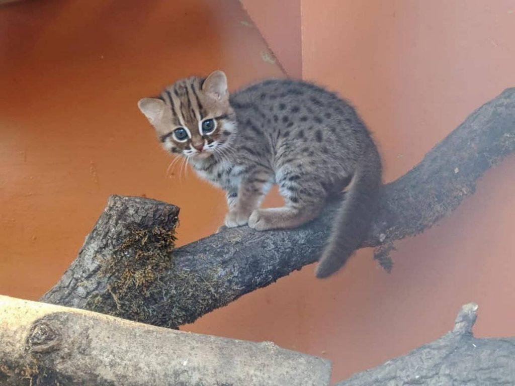 Ржавая кошка: описание внешности, характер, среда обитания и образ жизни, фото