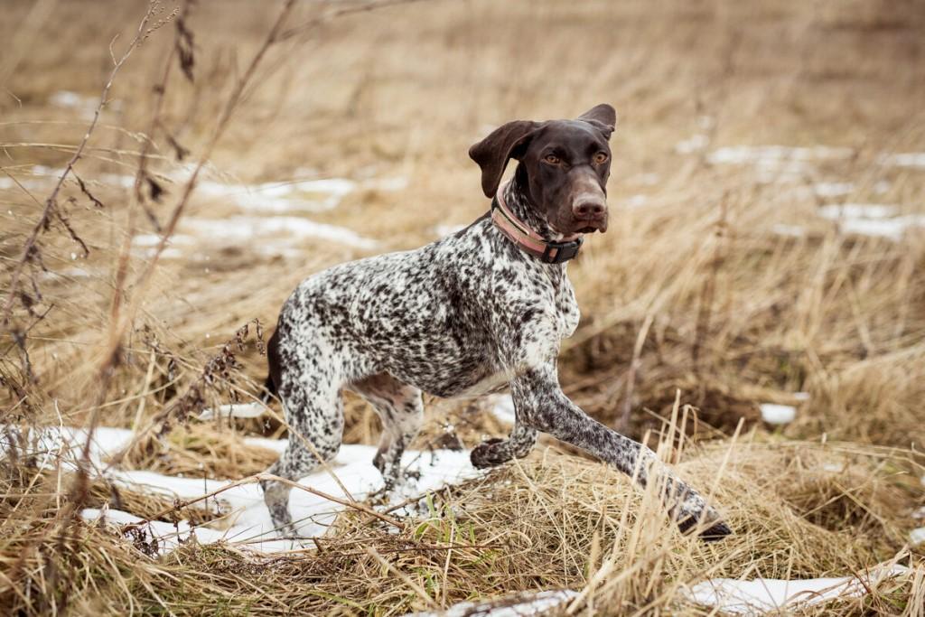 Курцхаар (60 фото): описание собак охотничьей породы немецкий курцхаар. как дрессировать щенков в домашних условиях? отзывы владельцев