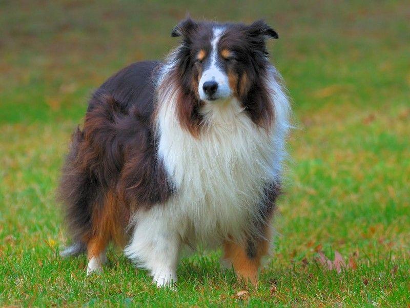 Шотландские породы собак: фото и краткое описание