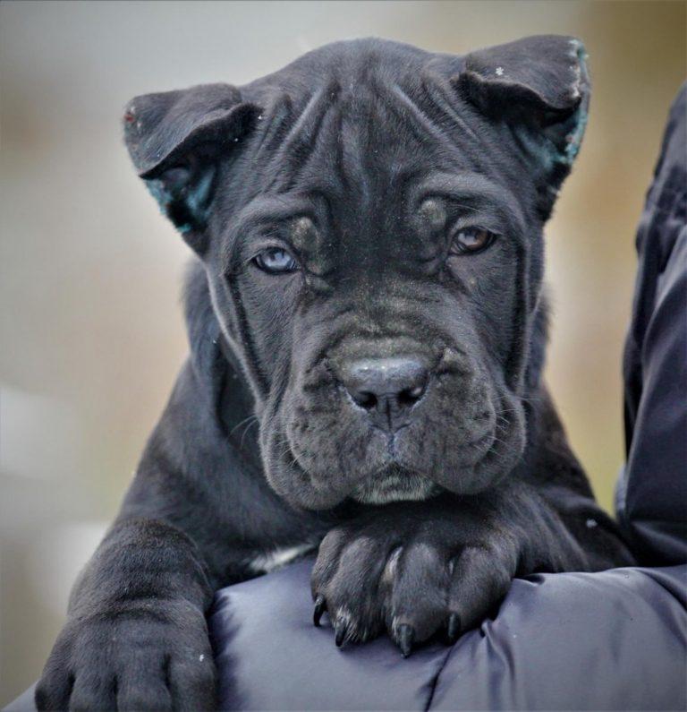 Кане-корсо ???? фото, описание, характер, факты, плюсы, минусы собаки ✔
