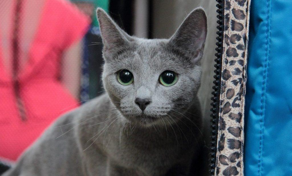 Порода кошки русская голубая кошка: характеристики, фото, характер, правила ухода и содержания - petstory