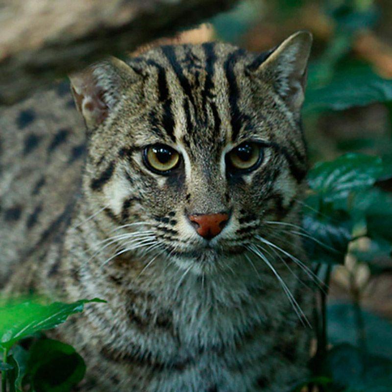 Виверровый кот-рыболов: описание, характер, среда обитания и образ жизни, фото
