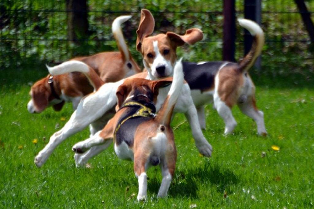Бигль в квартире: нужна ли клетка? особенности ухода за собакой. стоит ли заводить щенка в квартире? отзывы владельцев