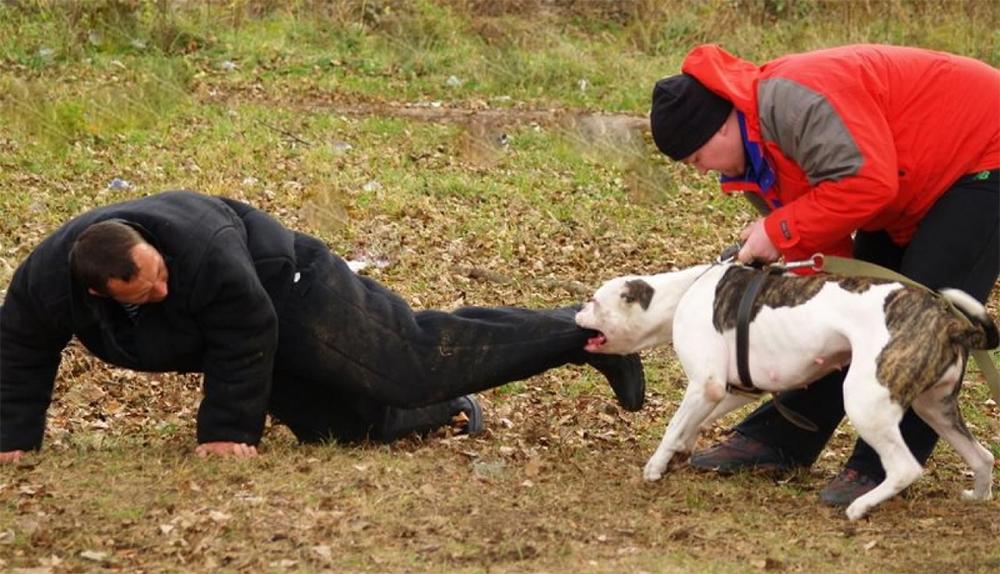 Питбуль: как воспитывать, чтобы животное не было злым и как натренировать красивого и накаченного питомца