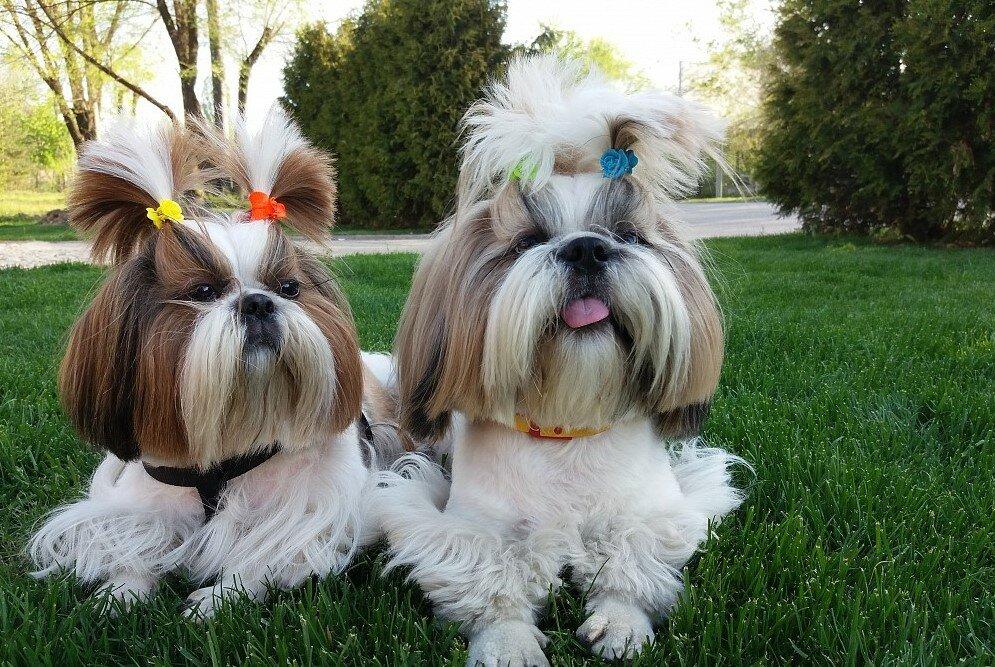 Собака ши-тцу: стандарт и описание породы, фото, цена